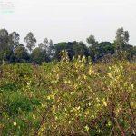 দীর্ঘস্থায়ী বন্যার থাবায় টাঙ্গাইলের লেবু চাষিরা সর্বশান্ত