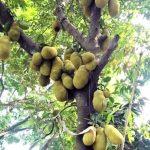 টাঙ্গাইলে জাতীয় ফল কাঁঠালের বাম্পার ফলন